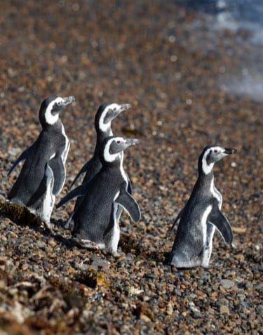 Saving the world's threatened penguins